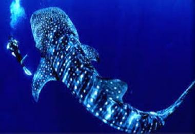 Tiburón ballena snorkel Los Cabos